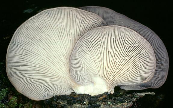 Image of <i>Pleurotus ostreatus</i> (Jacq.) P. Kumm. 1871