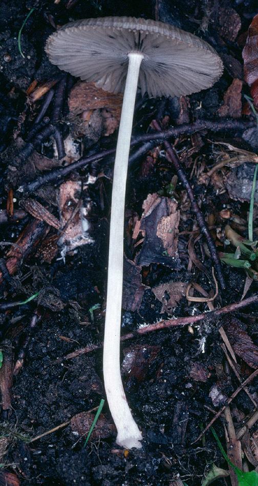 Image of <i>Parasola leiocephala</i> (P. D. Orton) Redhead, Vilgalys & Hopple 2001
