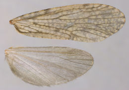 Image of <i>Plectrocnemia conspersa</i> (Curtis 1834)