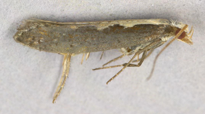 Image of <i>Plutella xylostella</i> Linnaeus 1767