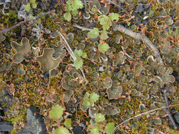 Image of felt lichen