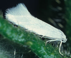 Image of <i>Elachista argentella</i> Clerck