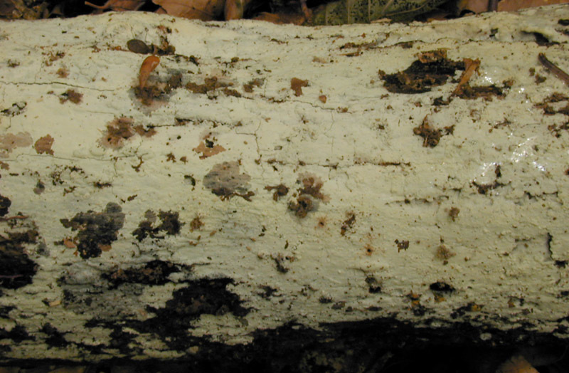Image of <i>Hyphoderma</i>