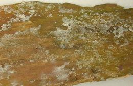 Image of <i>Botryobasidium candicans</i> J. Erikss. 1958