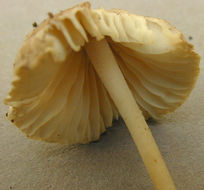 Image of <i>Mycenella rubropunctata</i> Boekhout 1985