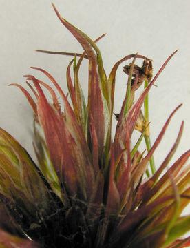 Image of <i>Livia juncorum</i>