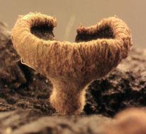 Image of <i>Lanzia echinophila</i> (Bull.) Korf 1982