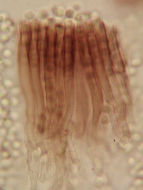 Image of <i>Bloxamia leucophthalma</i> (Lév.) Höhn. 1910