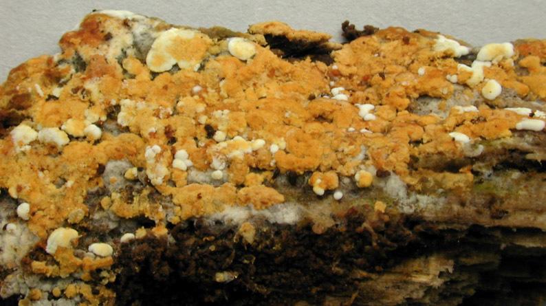Image of <i>Botryobasidium aureum</i> Parmasto 1965