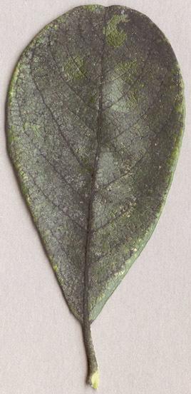 Image of <i>Capnodium salicinum</i>