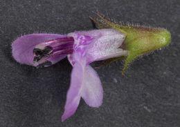 Image of Hedge-nettle