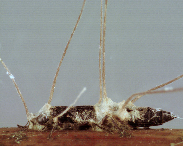 Image of <i>Ophiocordyceps entomorrhiza</i> (Dicks.) G. H. Sung, J. M. Sung, Hywel-Jones & Spatafora 2007