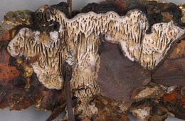 Image of <i>Datronia mollis</i> (Sommerf.) Donk 1966