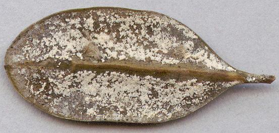 Image of <i>Sesquicillium buxi</i>