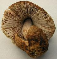 Image of <i>Volvariella caesiotincta</i> P. D. Orton 1974
