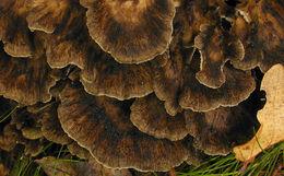 Image of hen-of-the-woods; ram's head; sheep's head
