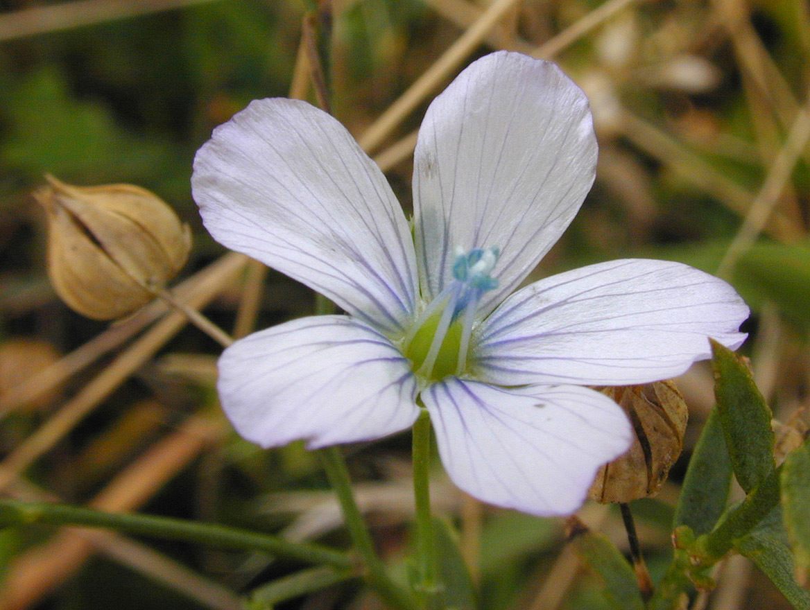Image of pale flax