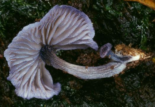 Image of <i>Entoloma euchroum</i> (Pers.) Donk 1949