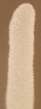 Image of <i>Typhula crassipes</i> Fuckel 1870