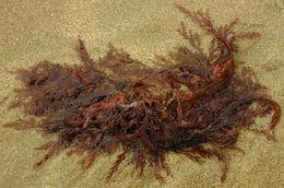 Image of <i>Plocamium cartilagineum</i>