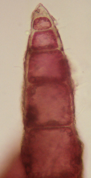 Image of <i>Heterosiphonia plumosa</i>