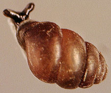 Image of Desmoulin's Whorl Snail