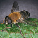 Image of <i>Mallota cimbiciformis</i> (Fallen 1817)