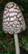 Image of <i>Coprinopsis picacea</i> (Bull.) Redhead, Vilgalys & Moncalvo 2001