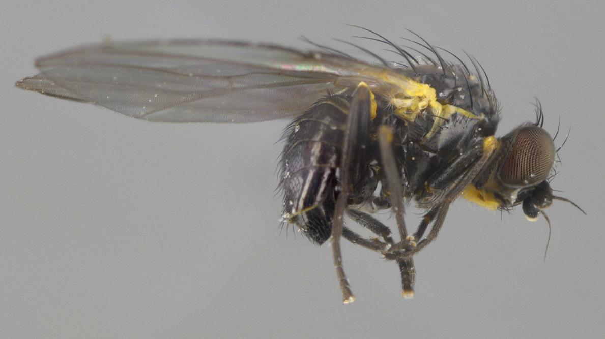 Image of <i>Cerodontha silvatica</i> Groschke 1957