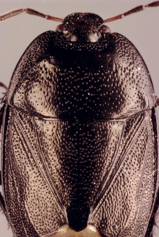 Image of <i>Sehirus luctuosus</i> Mulsant & Rey 1866