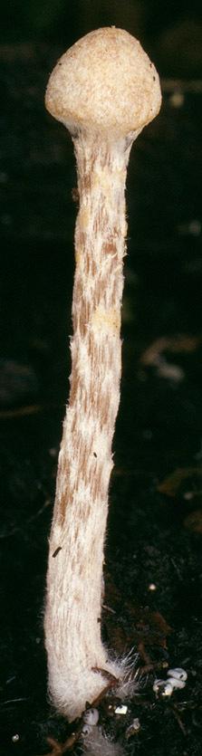 Image of <i>Naucoria luteolofibrillosa</i>