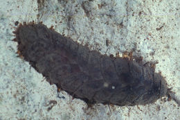Image of Scale worm
