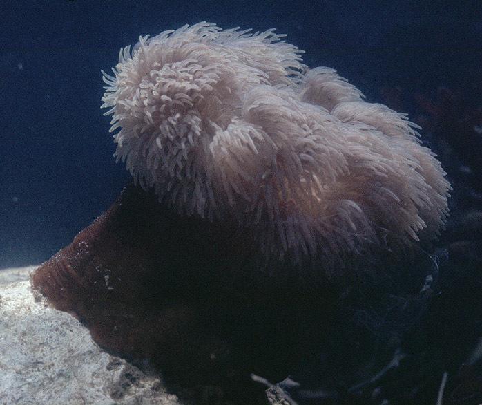 Image of Sea anemone