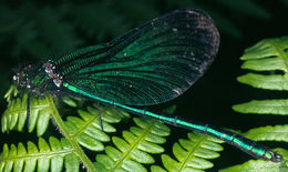 Image of Beautiful Demoiselle