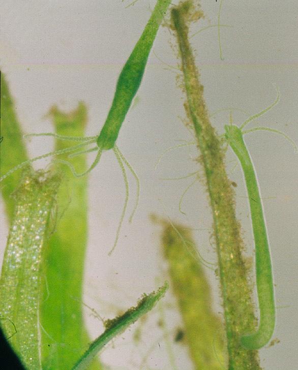 Image of <i>Hydra viridissima</i> Pallas 1766