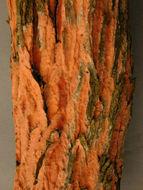 Image of <i>Peniophora incarnata</i> (Pers.) P. Karst. 1889