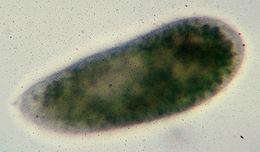 Image of slipper animalcules