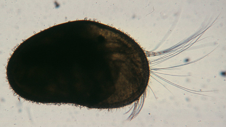 Image of ostracodes
