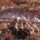 Image of Isopod