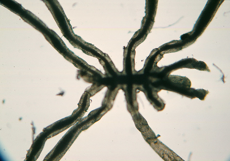 Image of clawed sea spider