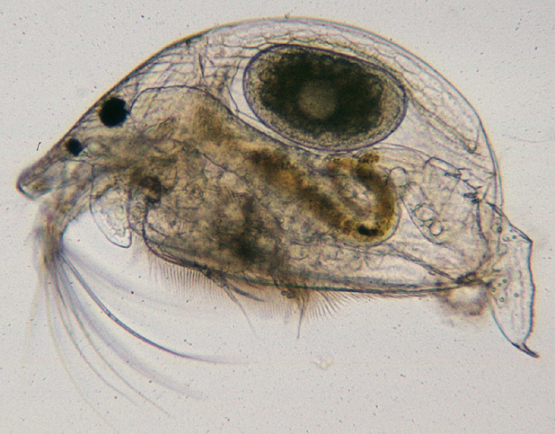 Image of gliding waterflea