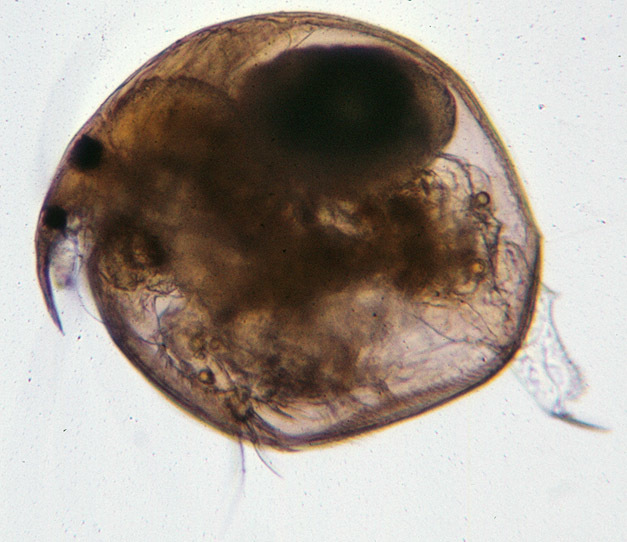 Image of Water flea