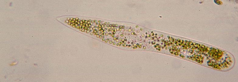 Image of Ophrydium