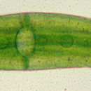 Image of <i>Closterium moniliferum</i>