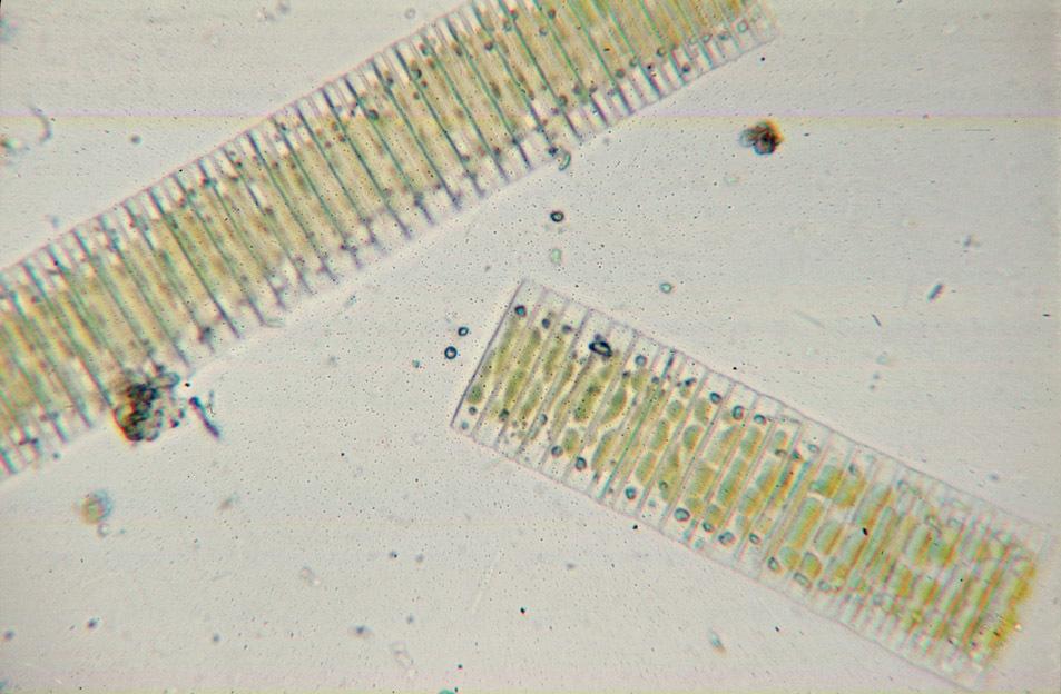 Image of Fragilaria