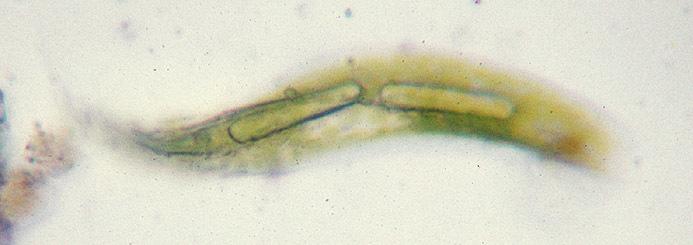 Image of <i>Lepocinclis acus</i>