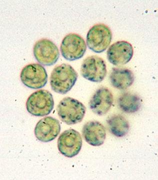 Image of <i>Gonium pectorale</i>