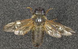 Image of <i>Trichiosoma tibiale</i>