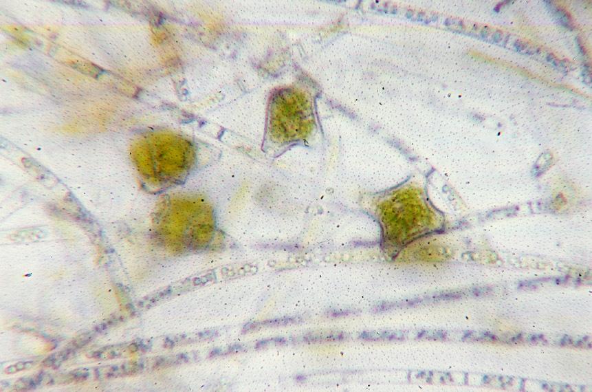 Image of <i>Mougeotia viridis</i>