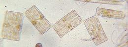 Image of Tabellaria
